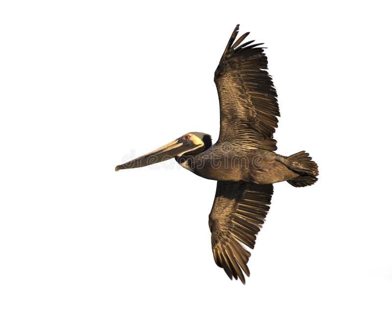 Download Brown Pelican (Pelecanus Occidentalis) Stock Photo - Image: 30041916