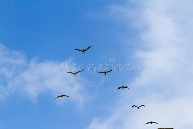 Brown pelican squad in flight. Squadron of brown pelicans flying above the pacific ocean in Panama royalty free stock photos