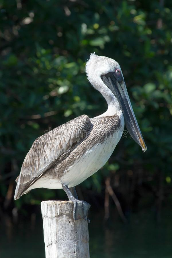 Brown Pelican standing on jetty post stock photography