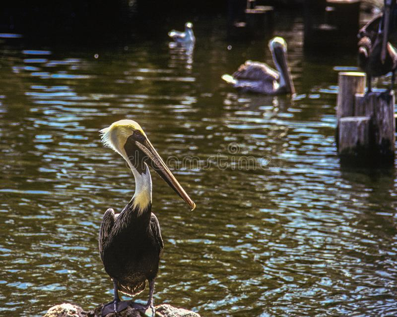 A Brown Pelican is standing on a rock at Busch Gardens royalty free stock photo