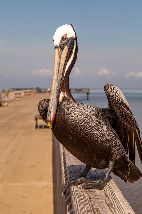 Brown Pelican waiting on a boardwalk. A brown pelican waiting on a boardwalk in Alabama USA stock images