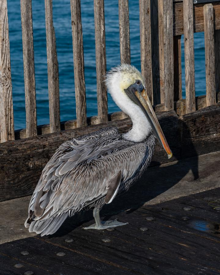 Brown Pelican walking about the Pensacola Beach pier. Pensacola Beach, Florida, United States of America royalty free stock photos