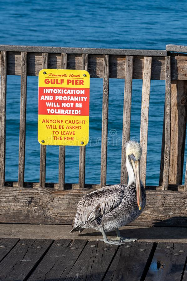 Brown Pelican walking about the Pensacola Beach pier. Pensacola Beach, Florida, United States of America stock image