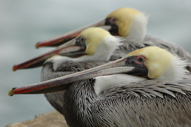 Brown pelicans royalty free stock image