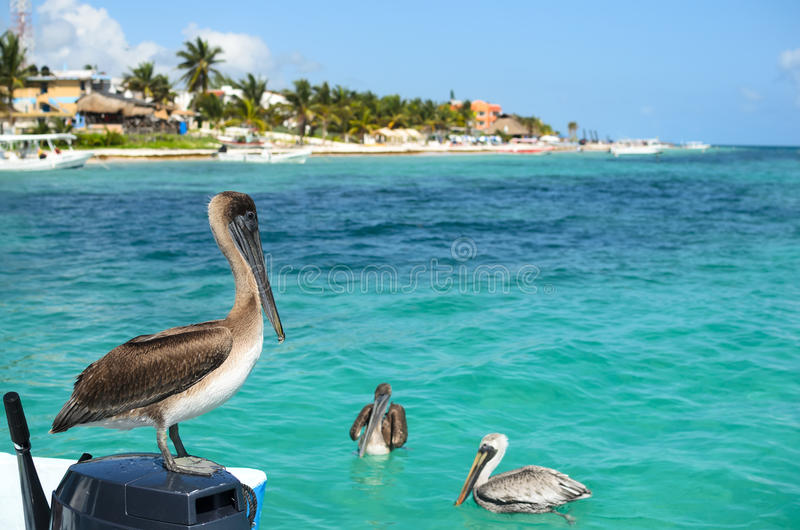 Brown pelicans in Caribbean sea next to the tropical paradise co stock photography