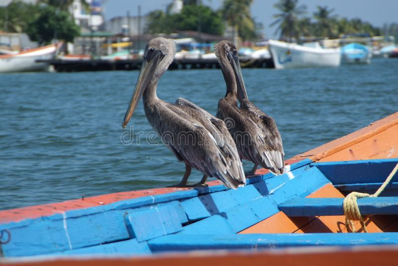 Brown pelicans in Caribbean sea next to the tropical paradise coast royalty free stock photos