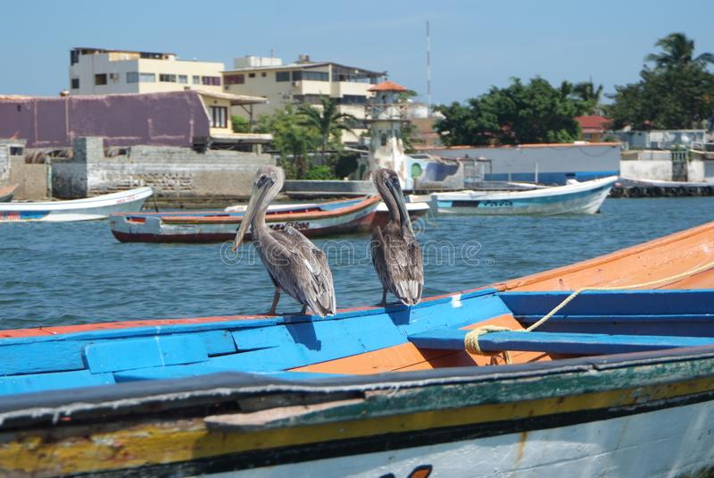 Brown pelicans in Caribbean sea next to the tropical paradise coast stock images