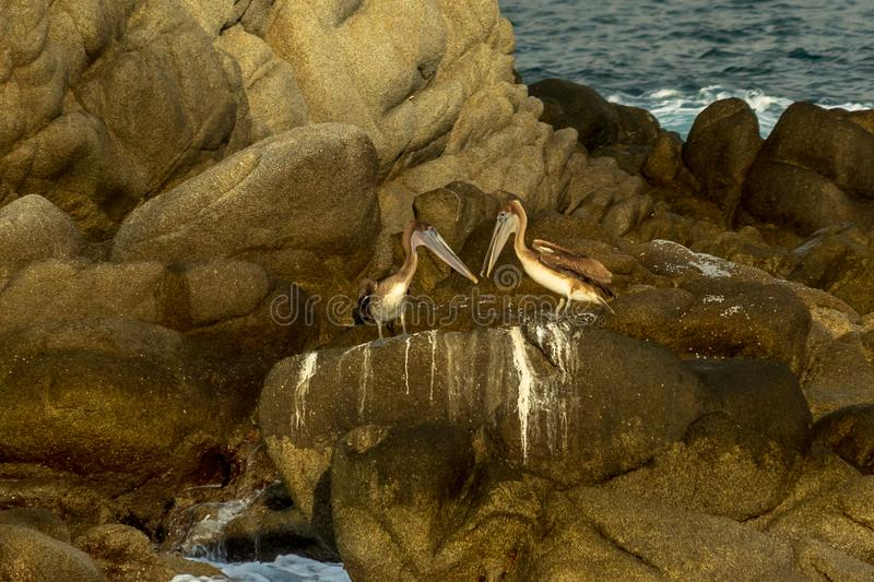 Brown pelicans couple in Huatulco Bay, Mexico. Preserved nature, quiet beaches and bays, birds and fauna watching, all for nature lovers at Huatulco, Mexico stock images
