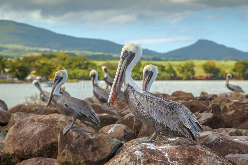 Download Brown Pelicans In Guadepoupe Stock Image - Image: 28256493