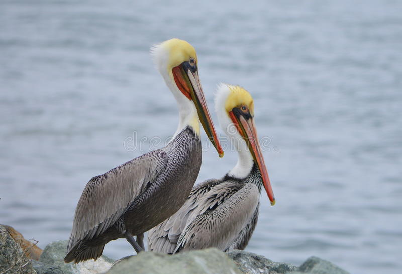 Brown Pelicans. An image of two pelicans stock image