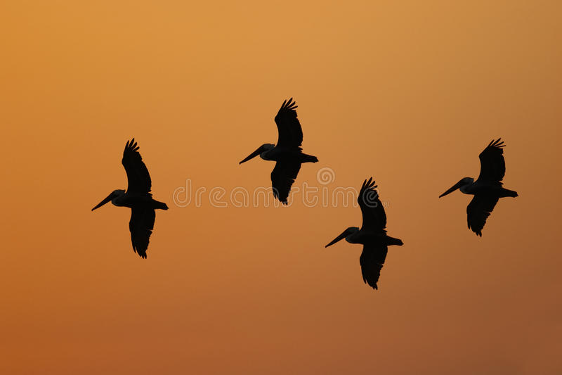 Brown Pelicans silhouetted in flight - Florida royalty free stock photography
