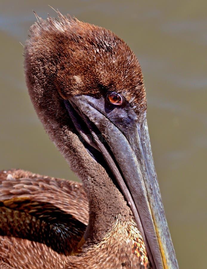 Brown-Pelikan stockfoto