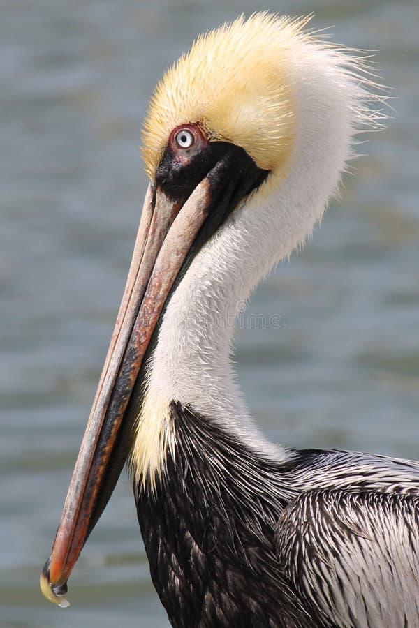 Brown pelikan zdjęcie royalty free