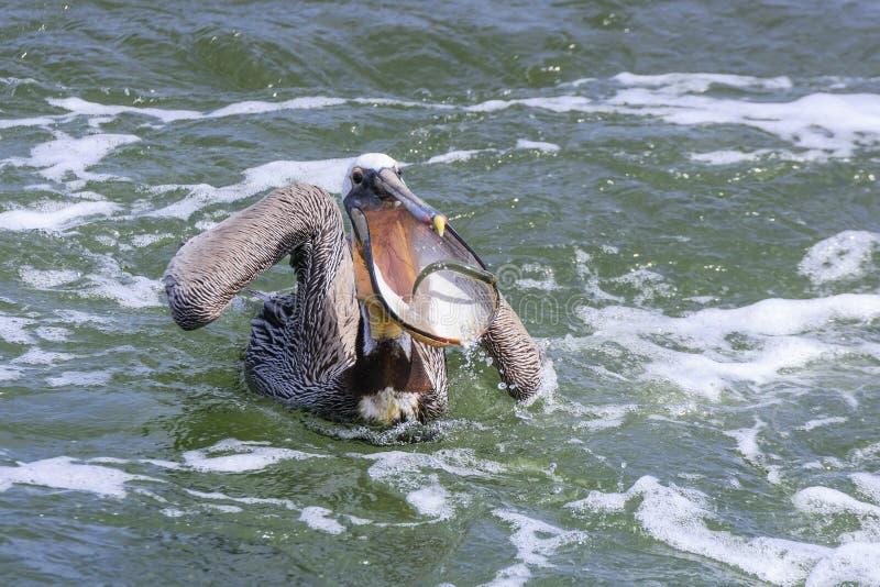 Brown-Pelikan-anziehende Fische lizenzfreie stockfotos