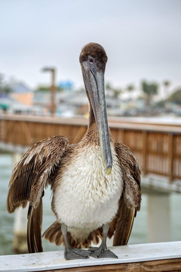 Brown-Pelikan auf dem Ft Myers Pier stockfotos