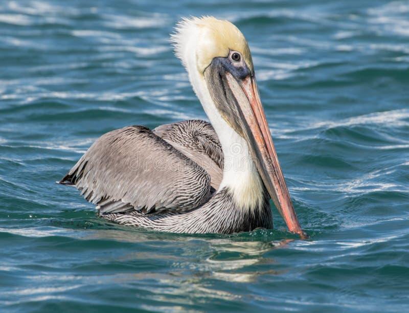 Brown-Pelikan auf dem Wasser stockfotografie