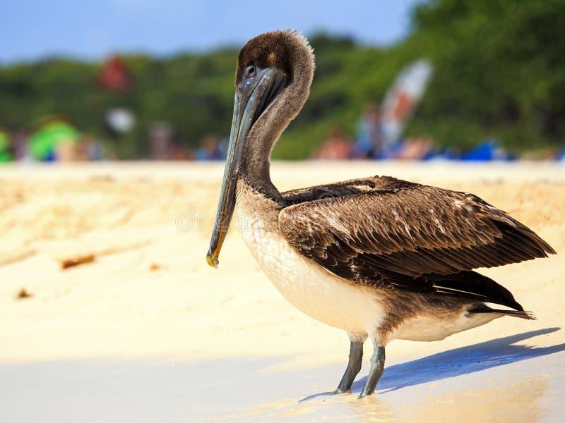 Brown-Pelikan auf mexikanischem Strand lizenzfreie stockbilder