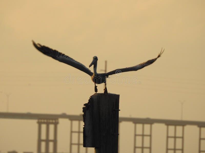 Brown pelikan Bierze lot przy zmierzchem fotografia royalty free