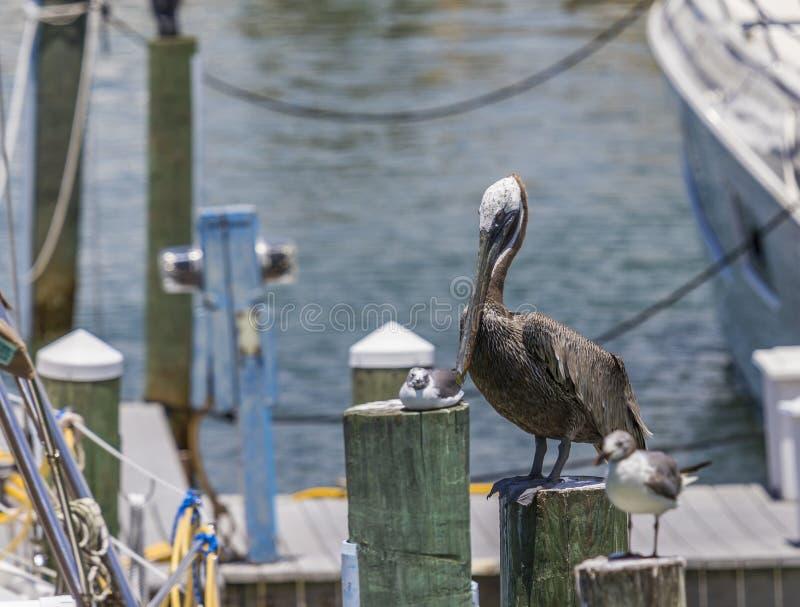 Brown-Pelikan am Clearwater-Strandjachthafen in Florida-Gebrauch lizenzfreies stockfoto