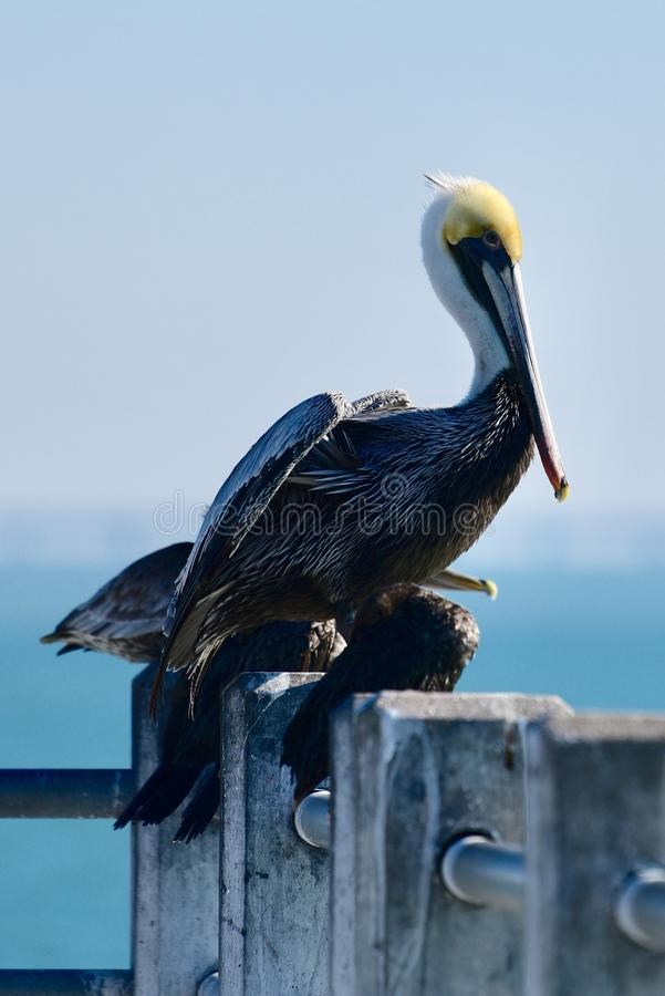 Brown-Pelikan, der auf einem Pier steht lizenzfreie stockbilder