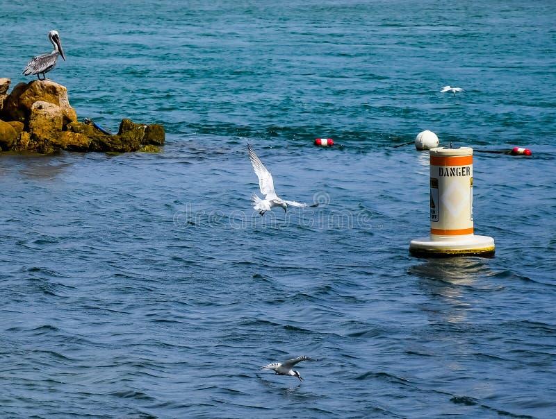 Brown-Pelikan, der die wenigen Seeschwalben aufpasst lizenzfreies stockfoto