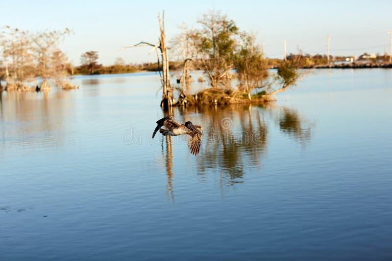 Brown-Pelikan, der vorbei in das Mississippi fliegt stockfotos
