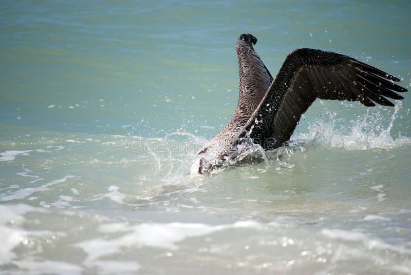 Brown-Pelikan-Fischen lizenzfreie stockfotografie