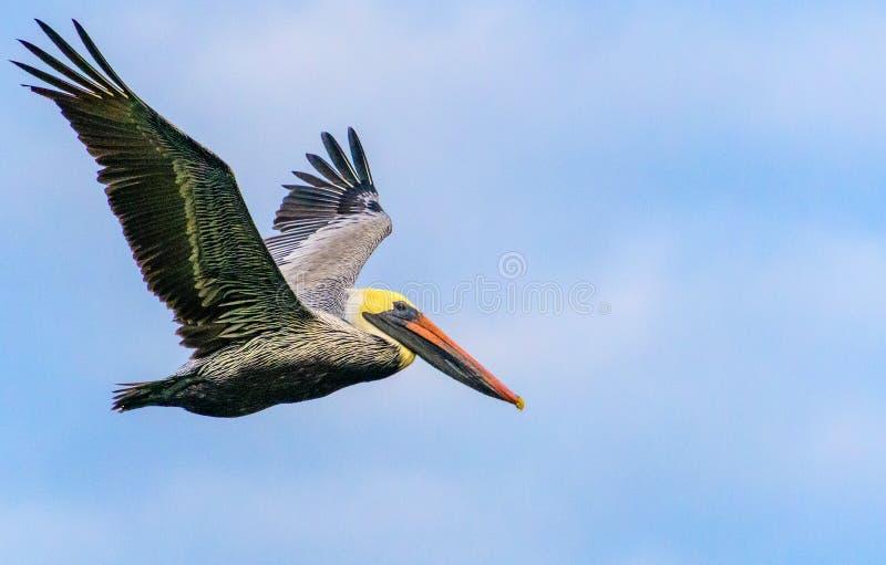 Brown-Pelikan-Flug im Sicherheitshafen stockfotos