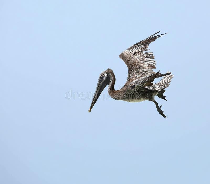 Brown pelikan iść w dół szybko zdjęcie royalty free