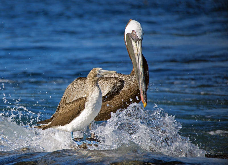 Brown pelikan i Błękitny Footed dureń, Galapagos wyspy fotografia royalty free