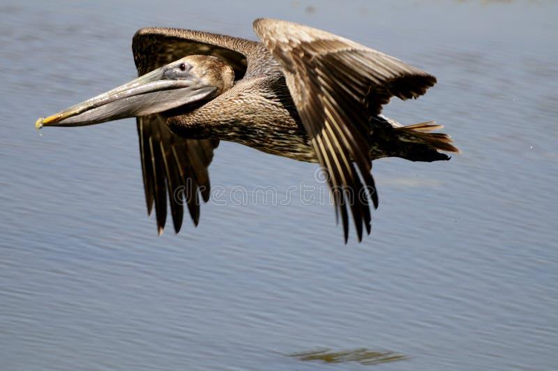 Brown-Pelikan im Flug stockbilder