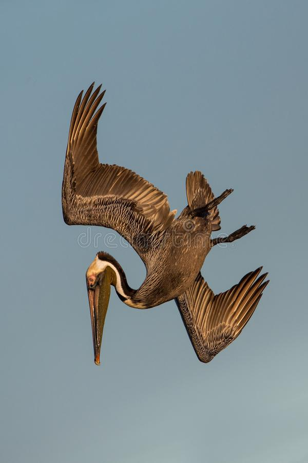 Brown-Pelikan im Flug, Estero-Lagune, lizenzfreie stockfotografie