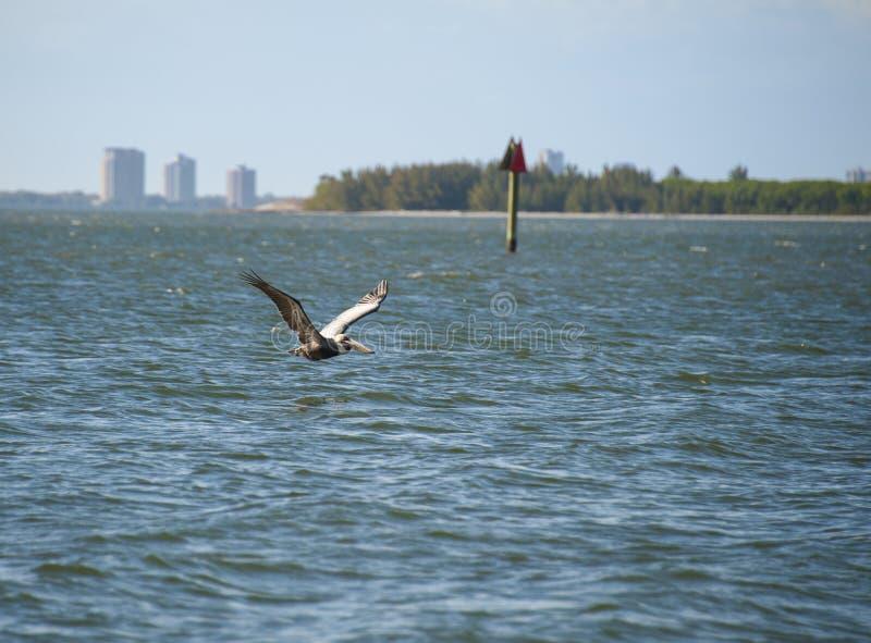 Brown-Pelikan kreuzende Tampa Bay lizenzfreie stockbilder