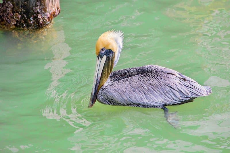 Brown-Pelikan mit gelbem Hauptschwimmen, ing im Salzwasser lizenzfreie stockbilder