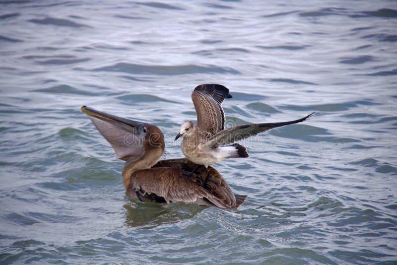 Brown-Pelikan mit Möven-Passagier lizenzfreie stockbilder