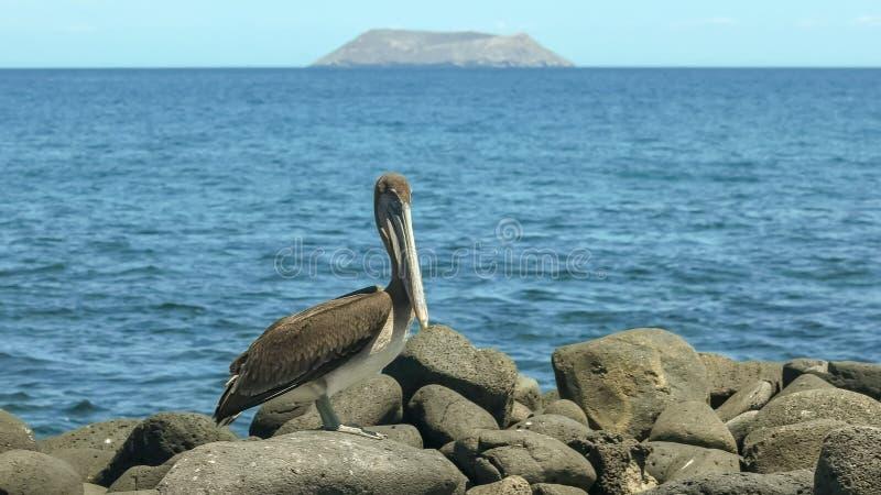 Brown pelikan na brzeg północny seymour Galapagos zdjęcia stock