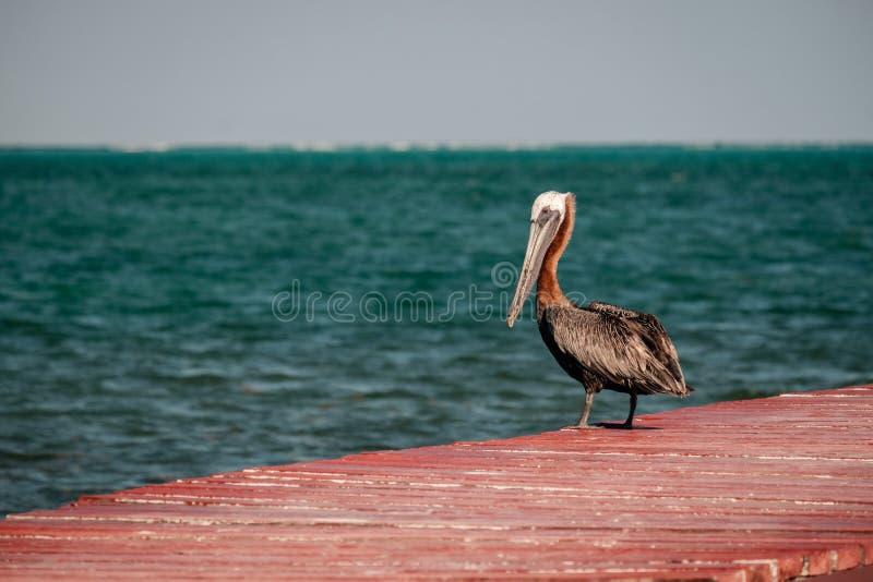 Brown pelikan na czerwonym doku zdjęcia royalty free