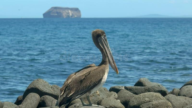 Brown pelikan na północnym Seymour w Galapagos fotografia royalty free