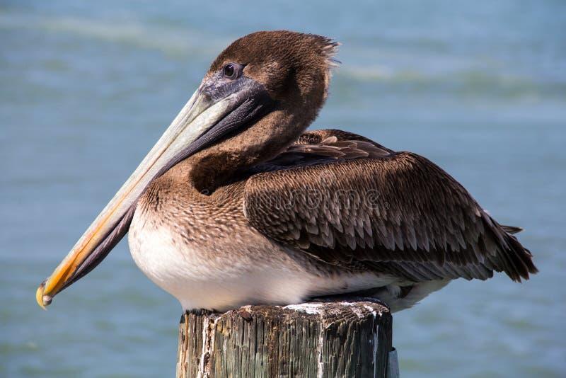 Brown pelikan Nocuje Na doku palowanie zdjęcia royalty free