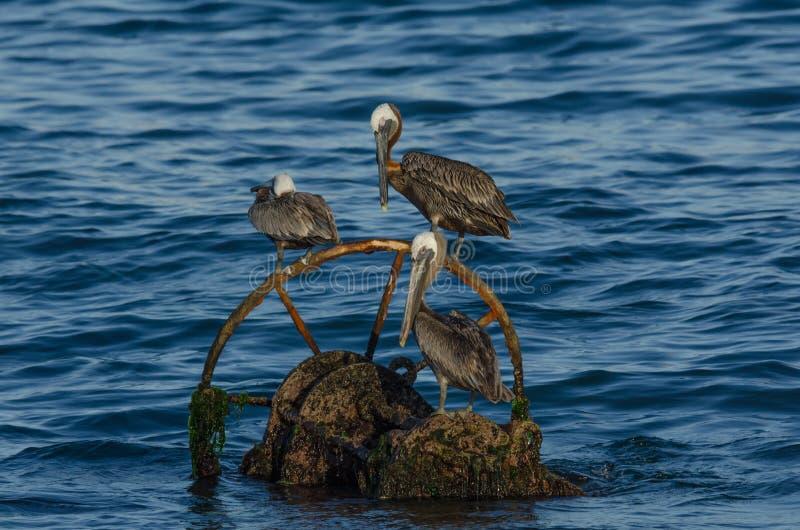 Brown pelikan (pelecanus occidentalis) obraz royalty free