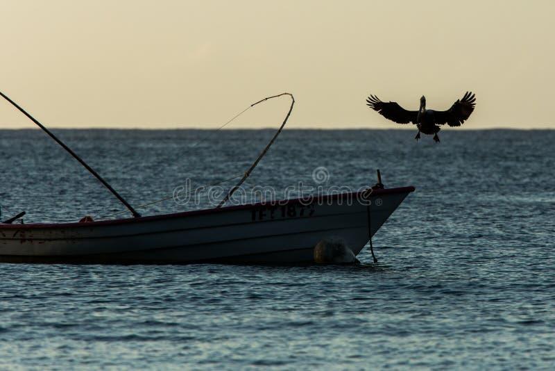 Brown-Pelikan, Pelecanus occidentalis, die mit ausgestreckten Flügeln fliegen und auf Boot von Fischern, Tobago-Insel landen lizenzfreie stockfotos
