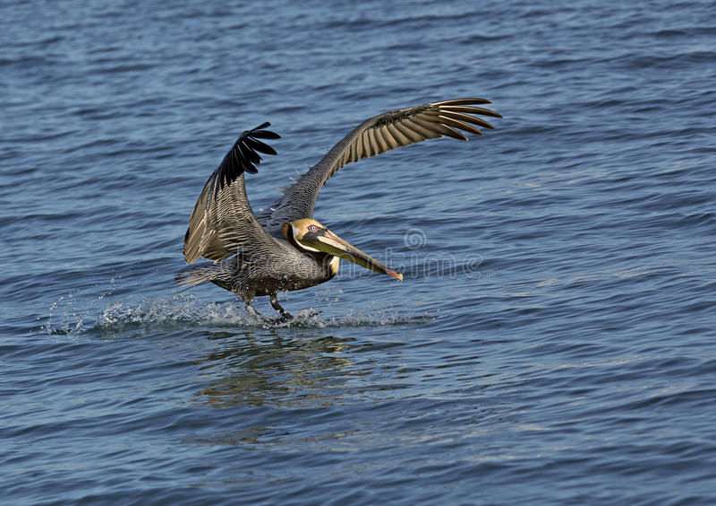 Brown pelikan (Pelicanus occidentalis)