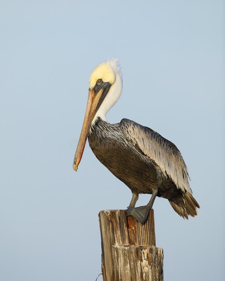 Brown pelikan umieszczał na doku palowaniu - Floryda zdjęcie royalty free