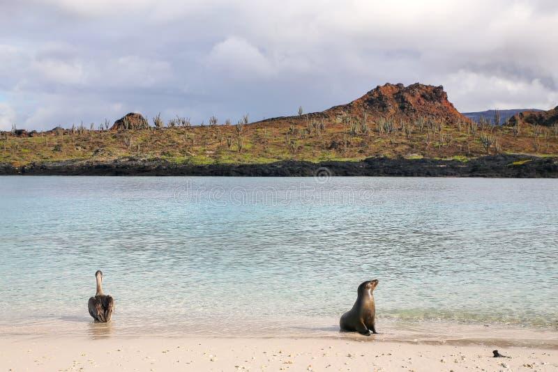Brown-Pelikan und Galapagos-Seelöwe auf dem Strand des chinesischen Hutes stockfotos