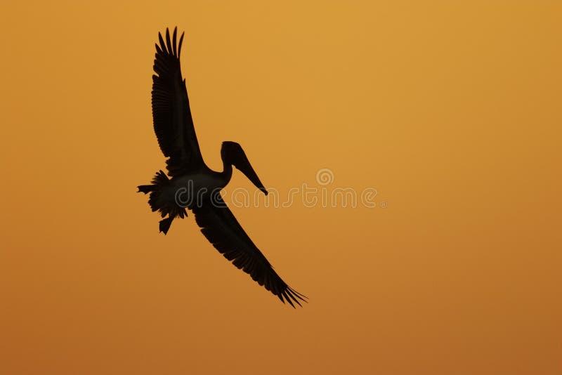 Brown pelikan w locie sylwetkowym przeciw Floryda zmierzchowi zdjęcia stock