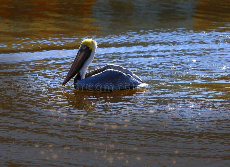 Brown pelikana dopłynięcie w rzece zdjęcie royalty free