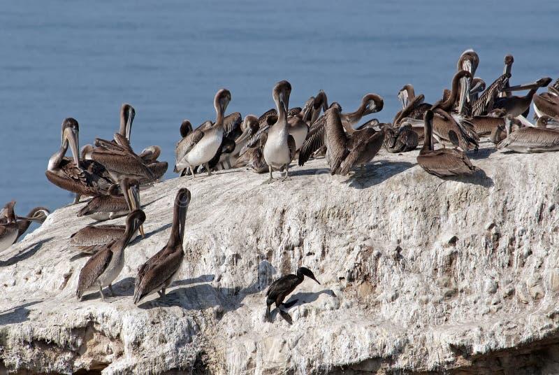 Brown pelikana kolonia, Pelecanus occidentalis zdjęcie royalty free