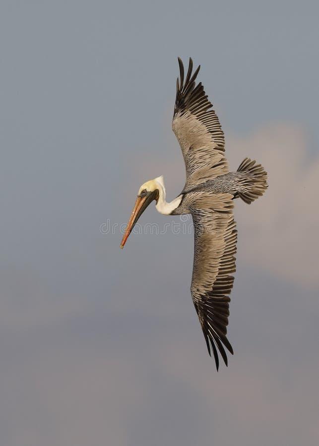 Brown pelikana narządzanie nurkować dla ryba - St Petersburg, Flo obrazy stock