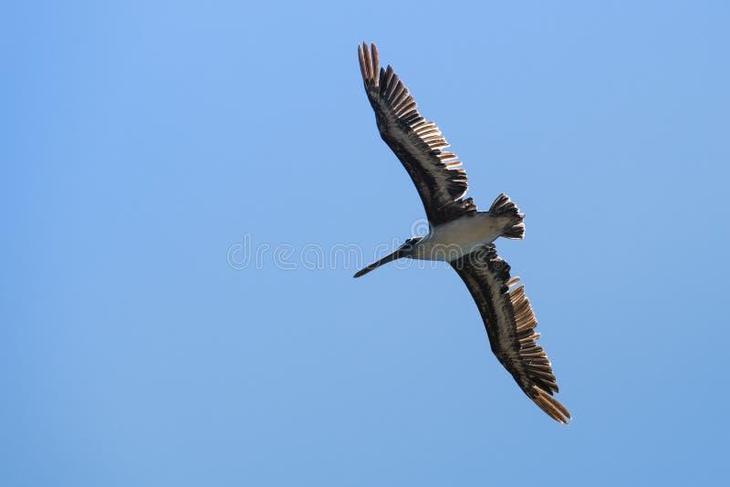 Brown pelikana Pelecanus occidentalis latać fotografia stock