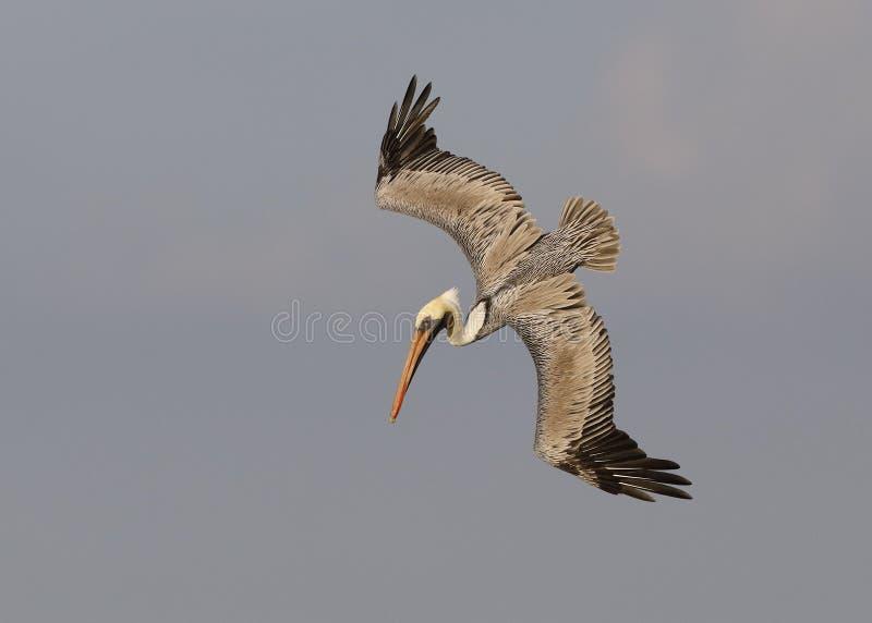 Brown pelikana pikowanie dla ryba - St Petersburg, Floryda zdjęcie royalty free